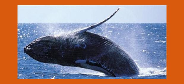 Whales-In-Paradise-Surfers-Paradise-Gold-Coast-Whale-Watching